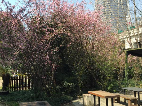中国上海でお花見バーベキュー